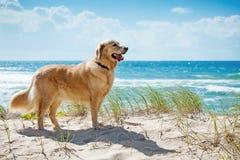 Gouden retriever op een zandig duin dat strand overziet Royalty-vrije Stock Foto's