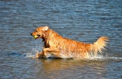 Gouden Retriever in Water royalty-vrije stock foto