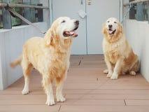 Gouden retrieverhond Royalty-vrije Stock Afbeeldingen