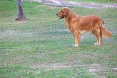 Gouden retrieverhond die zich op tuingebied bevindt stock afbeelding