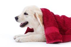 Gouden retrieverpuppy dat door handdoek wordt behandeld royalty-vrije stock foto