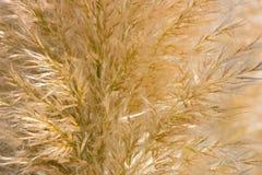 Gouden riet of lange eared grastextuur Stock Fotografie