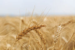 Gouden rijpe oren van tarwe op een gebied royalty-vrije stock afbeelding