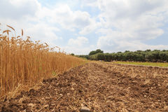 Gouden rijpe oren van tarwe op een gebied stock afbeeldingen
