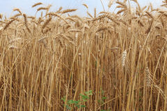 Gouden rijpe oren van tarwe op een gebied Stock Fotografie