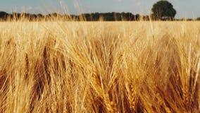 Gouden rijpe oren van tarwe op landbouwgebied op heldere daglichten Slowmo langzame motie stock video