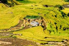 Gouden rijst terrasvormige gebieden bij het oogsten van tijd Royalty-vrije Stock Afbeelding