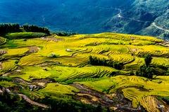 Gouden rijst terrasvormige gebieden bij het oogsten van tijd Royalty-vrije Stock Foto's