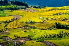 Gouden rijst terrasvormige gebieden bij het oogsten van tijd Stock Foto