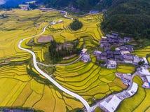 Gouden rijst terrasvormige gebieden bij het oogsten van tijd Stock Afbeeldingen