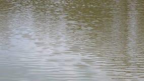 Gouden rimpelingen in water stock video