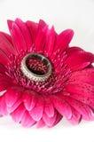 Gouden ring op gerber Royalty-vrije Stock Foto's
