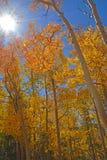 Gouden Rode Espbladeren die door de Dalingszon worden verlicht royalty-vrije stock afbeeldingen