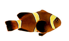 Gouden streepbiaculeatus Kastanjebruine Clownfish - Premnas Stock Foto