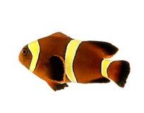 Gouden streepbiaculeatus Kastanjebruine Clownfish - Premnas Stock Foto's
