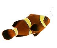 Gouden streepbiaculeatus Kastanjebruine Clownfish - Premnas Royalty-vrije Stock Foto's