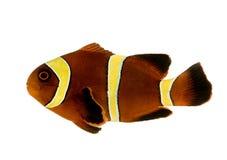 Gouden streepbiaculeatus Kastanjebruine Clownfish - Premnas Royalty-vrije Stock Afbeeldingen