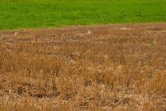 Gouden stro en groen gras stock fotografie
