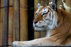Gouden Tabby Tiger Royalty-vrije Stock Fotografie