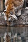 Gouden Tabby Tiger Drinking Water Royalty-vrije Stock Foto