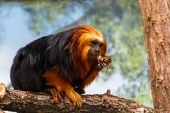Gouden tamarin van de haarleeuw royalty-vrije stock fotografie