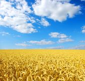 Gouden tarwe stock foto's