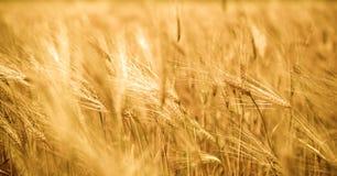 Gouden tarwe Royalty-vrije Stock Fotografie