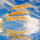 Gouden tarwe in de blauwe hemel Stock Fotografie