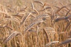Gouden tarwe gebied, oogst en de landbouw royalty-vrije stock afbeelding