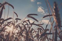 Gouden tarwe gebied, oogst en de landbouw, backlight Stock Fotografie