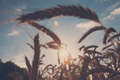 Gouden tarwe gebied, oogst en de landbouw, backlight Stock Afbeelding