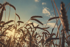 Gouden tarwe gebied, oogst en de landbouw, backlight Royalty-vrije Stock Afbeelding