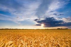 Gouden tarwe klaar voor oogst het groeien op gebied stock afbeeldingen