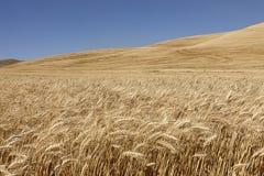 Gouden tarwe in oostelijk Washington stock afbeelding
