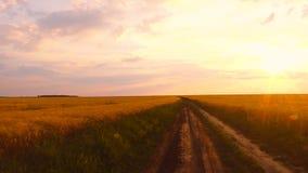 Gouden tarwe op een zonsondergang stock video