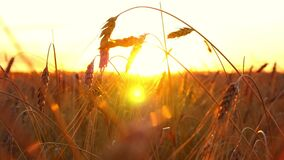 Gouden tarwe op een zonsondergangachtergrond Aartjes van rijp tarweclose-up stock footage