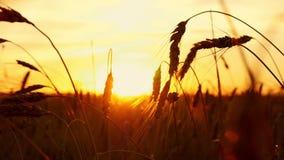 Gouden tarwe op een zonsondergangachtergrond Aartjes van rijp tarweclose-up Het gebied van de tarwe stock footage