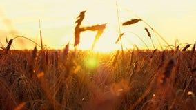 Gouden tarwe op een zonsondergangachtergrond Aartjes van rijp tarweclose-up in langzame motie stock video