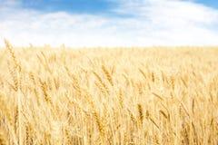 Gouden tarwe op korrelgebied royalty-vrije stock fotografie