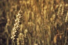 Gouden tarwe op zonovergoten gebied Royalty-vrije Stock Foto