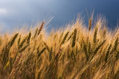 Gouden tarwe tegen de achtergrond van een stormachtige hemel stock afbeelding