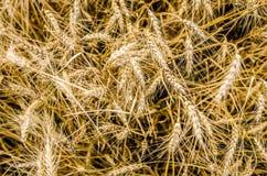 Gouden Tarwegebied Stock Fotografie