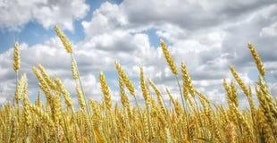 Gouden tarwegebied en blauwe hemel Royalty-vrije Stock Afbeeldingen