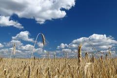 Gouden tarwegebied over blauwe hemel Stock Afbeeldingen