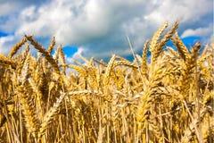 Gouden tarwegebied tegen blauwe hemel stock afbeelding
