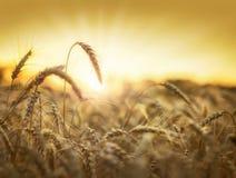 Gouden tarwegebied in zonsondergang Royalty-vrije Stock Foto