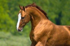 Gouden trek paardportret in motie aan Stock Foto