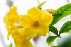 Gouden trompetbloei in de tuin royalty-vrije stock fotografie