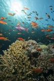 Gouden tropische vissen Stock Afbeelding