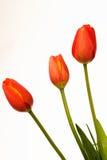 Gouden tulp drie Royalty-vrije Stock Afbeelding